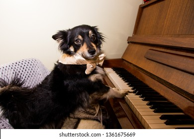 Cute funny dog playing the piano
