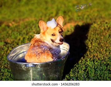cute funny dog puppy Corgi washes in a metal bath and cools outside in summer on a Sunny hot day in shiny foam bubbles and smiles happily