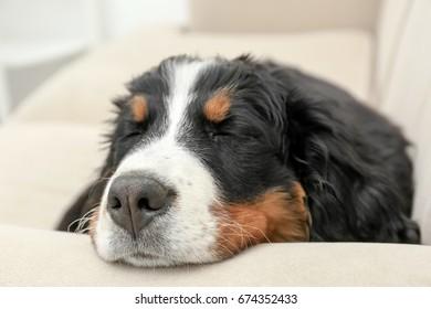 Cute funny dog sleeping on sofa at home, closeup
