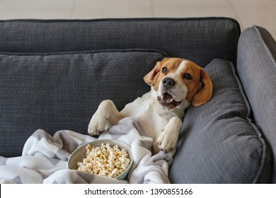Cute funny dog with tasty popcorn lying on sofa at home