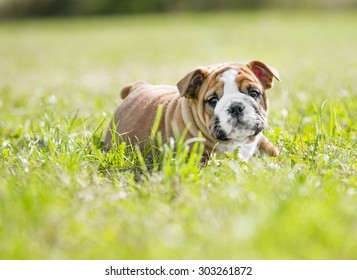 Cute funny english bulldog puppies playing outdoors