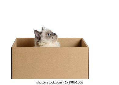 Cute and funny fluffy color-point cat of the Scottish Straight breed sits in a cardboard box and looks up. White isolated background with place for text