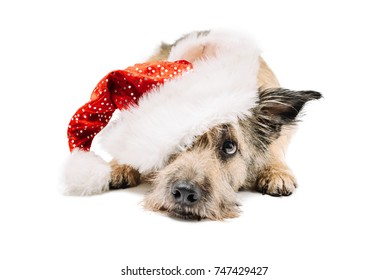 Cute and funny fluffy dog legit on paws and looks in a frame. On the head wearing a Santa Claus hat. From under the cap can be seen one ear. Background isolated.