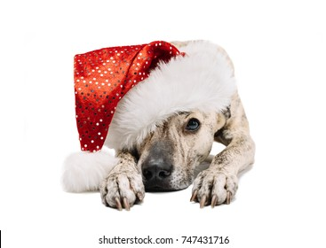 Cute and funny fluffy dog legit on paws and looks in a frame. On the head wearing a Santa Claus hat. From under the cap Olin visible to the eye. Background isolated.