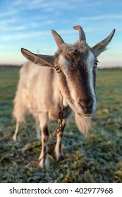 Cute and funny goat portrait close-up