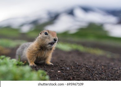 Cute funny gophers are looking into the camera,