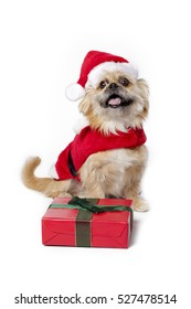 Cute funny greyhound dog with santa outfit isolated on white background