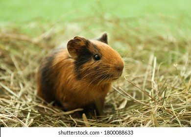 Cute funny guinea pig and hay outdoors, closeup