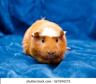 Cute funny guinea pig on a blue background