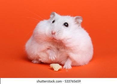Cute funny hamster in studio, on orange background