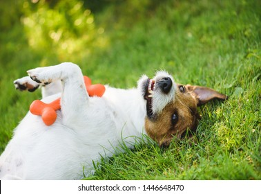 Cute, funny and happy dog lying on back at green grass lawn with toy in paws