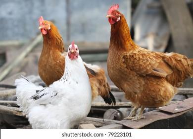 cute funny hens on farm yard