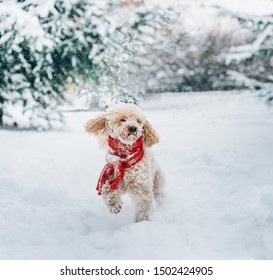 Cute and funny little dog with red scarf playing in the snow. Happy puddle puppy having fun with snowflakes. Outdoor winter holidays happiness. Christmas and New year concept.