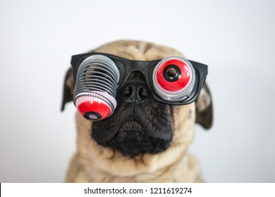 Cute and funny pug wearing googly eyes glasses