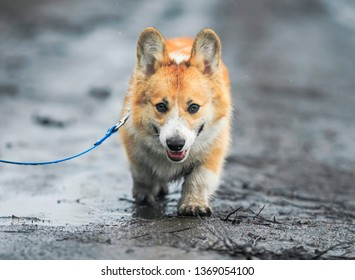 cute funny puppy Corgi walks on a leash on a dirty damp spring off-road , staining his paws and belly in the rain