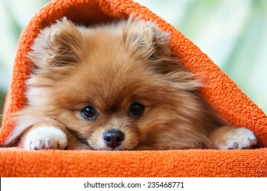 cute and funny puppy Pomeranian smiling on orange background