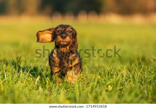 cute-funny-puppy-wirehaired-dachshund-60
