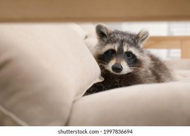 Cute funny raccoon resting on beige sofa