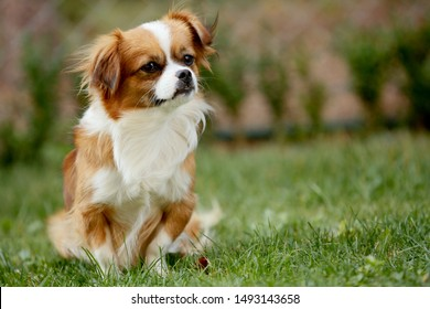 Cute and funny red light pekingese dog in autumn park playing wi