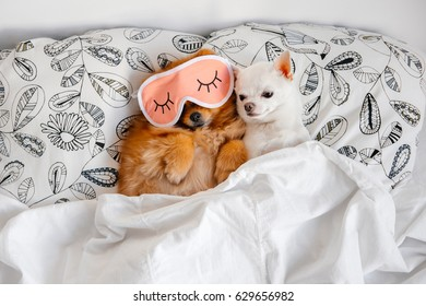 Cute Funny Pomeranian Puppy Lying On Stock Photo Edit Now