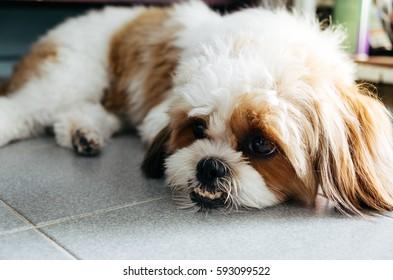 Cute funny shih tzu breed dog