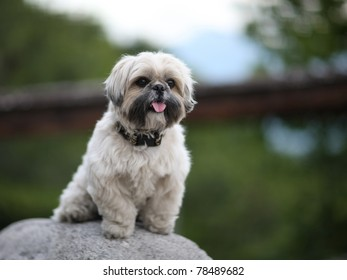 Cute funny shih tzu breed dog outdoors barking