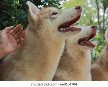 Cute and funny Siberian Husky family