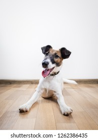 Cute and funny smooth fox terrier puppy lays on the floor. Trained young dog at home posing in white background indoors