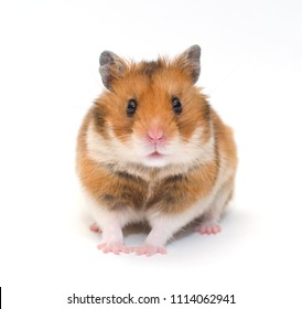Cute funny Syrian hamster (isolated on white), selective focus on the hamster eyes