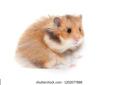 cute funny Syrian hamster. isolated on white background