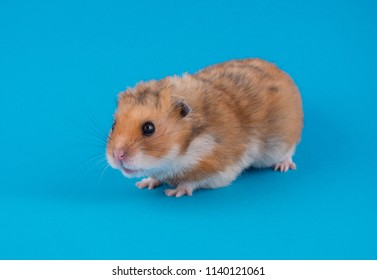 Cute funny Syrian hamster on a bright blue background (selective focus on the hamster eyes and ears)
