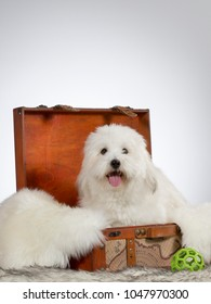 Cute and funny white dog sitting in a wooden suitcase. Image taken in a studio.