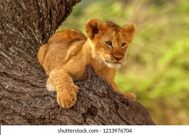 A cute and funny wild Lion cub (Panthera leo) from the nature reserve Mara North Conservancy in Kenya takes a rest in the tree in nature habitat with nice blurred green background.