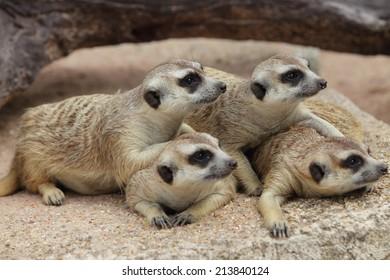 Cute funny-looking alert suricates