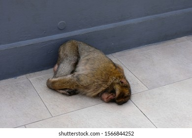 A cute, furry Barbary ape asleep lying on the floor of a platform on the top of the Rock of Gibraltar.