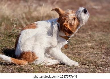 Rutschenhund-Hund-Hund-Hunde, der im Gras kratzt