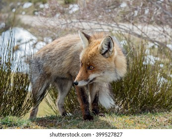 Cute and furry red fox (Vulpes vulpes) with big eyes
