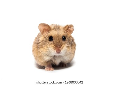 Cute furry small dwarf campbell hamster in a studio, front view, white background