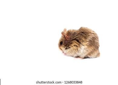 Cute furry small dwarf campbell hamster in a studio from the side, white background