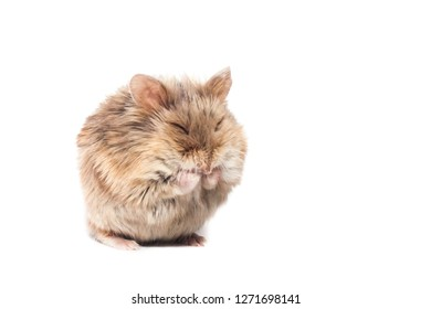 Cute furry small dwarf campbell hamster in a studio cleaning itself, funny pose, white background