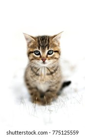 A cute fuzzy, grey, Domestic Horthair Taby Cat kitten, with black stripes, is sitting in the snow on a winter day.