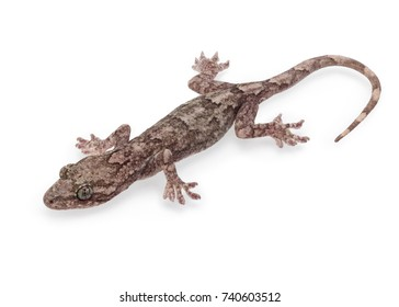 A Cute Gecko Isolated on White Background in Full Depth of Field.