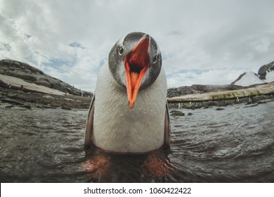 cute gentoo penguin in Antarctica, adorable baby animal, sea bird singing