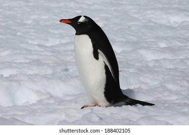 Cute Gentoo penguin on the snow  in Antarctica