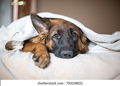Cute German Shepherd in a blanket on bed. Lovely dog in home.