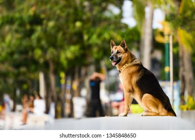 A cute German Shepherd Dog is sitting admiring the sunset on Patong waterfront. The German Shepherd is a breed of medium to large-sized working dog that originated in Germany.