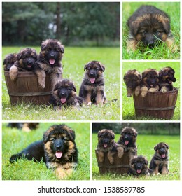 Cute German shepherd puppies sitting in wooden tub. Little black dogs lying on grass at dog farm. Collage photo