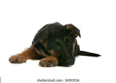 cute German Shepherd puppy with chin on paw