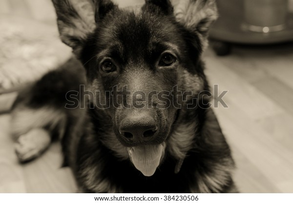 Cute German shepherd puppy at home (in sepia, retro style, with focus on the nose)