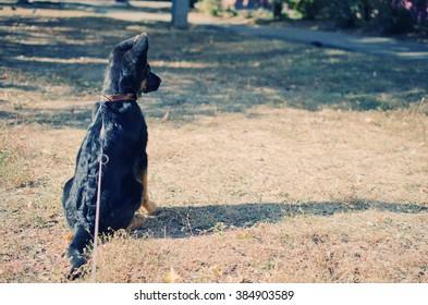 Cute German shepherd puppy with long ears (sitting in the sun, retro style)